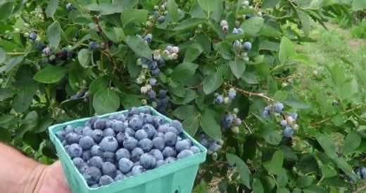 Розмноження лохини садової — вегетативний спосіб