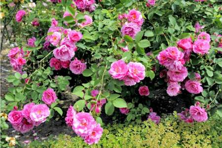 Вирощування троянди з насіння