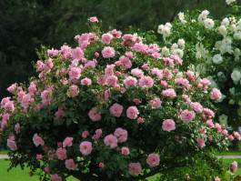 Паркові троянди посадка, догляд, сорти з фото