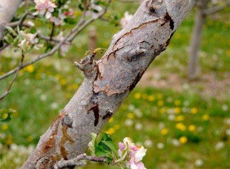 Хвороби кори яблунь та інших плодових дерев