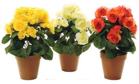 Догляд за домашніми трояндами 12dc0b95fe452