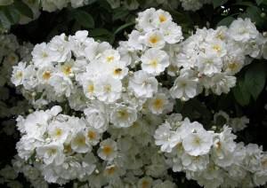Плетисті троянди — сорти з фото