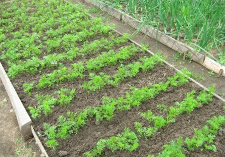 Посадка та вирощування моркви, відео