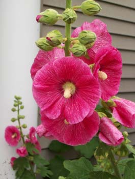 Як вирощувати шток — троянду